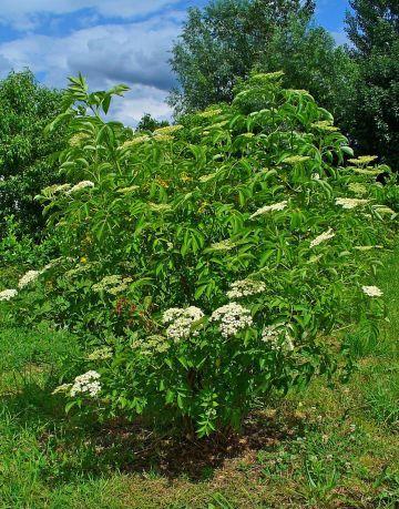 American Elder shrub
