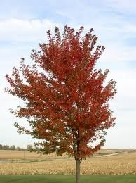 Amur Maple.