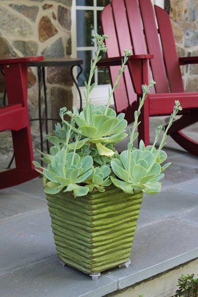 Echeverias in a pot