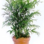 Bamboo Palm purifying air
