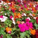 Bed of impatiens
