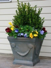 Boxwood and pansies