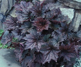 Burgundy Coral Bells - will tolerate part sun but really shine in full sun.