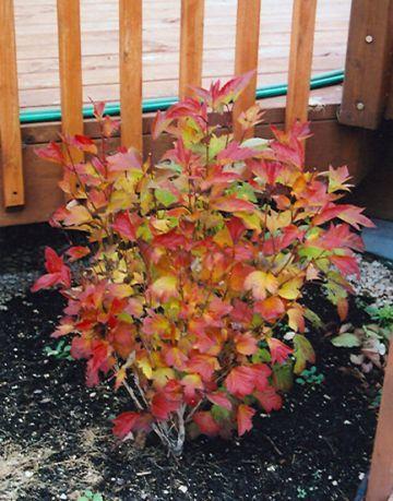 Compact Highbush Cranberry fall colour