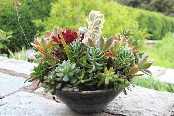 Succulent container at Dumbarton Oaks