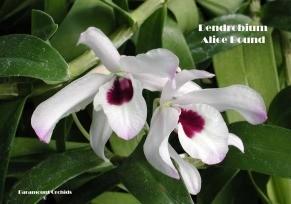 Dendrobium Alice Bound