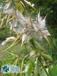 Dog Strangling Vine weed seeds