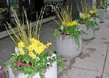 Green Dogwood Stems, Yellow Daffodils and Pansies