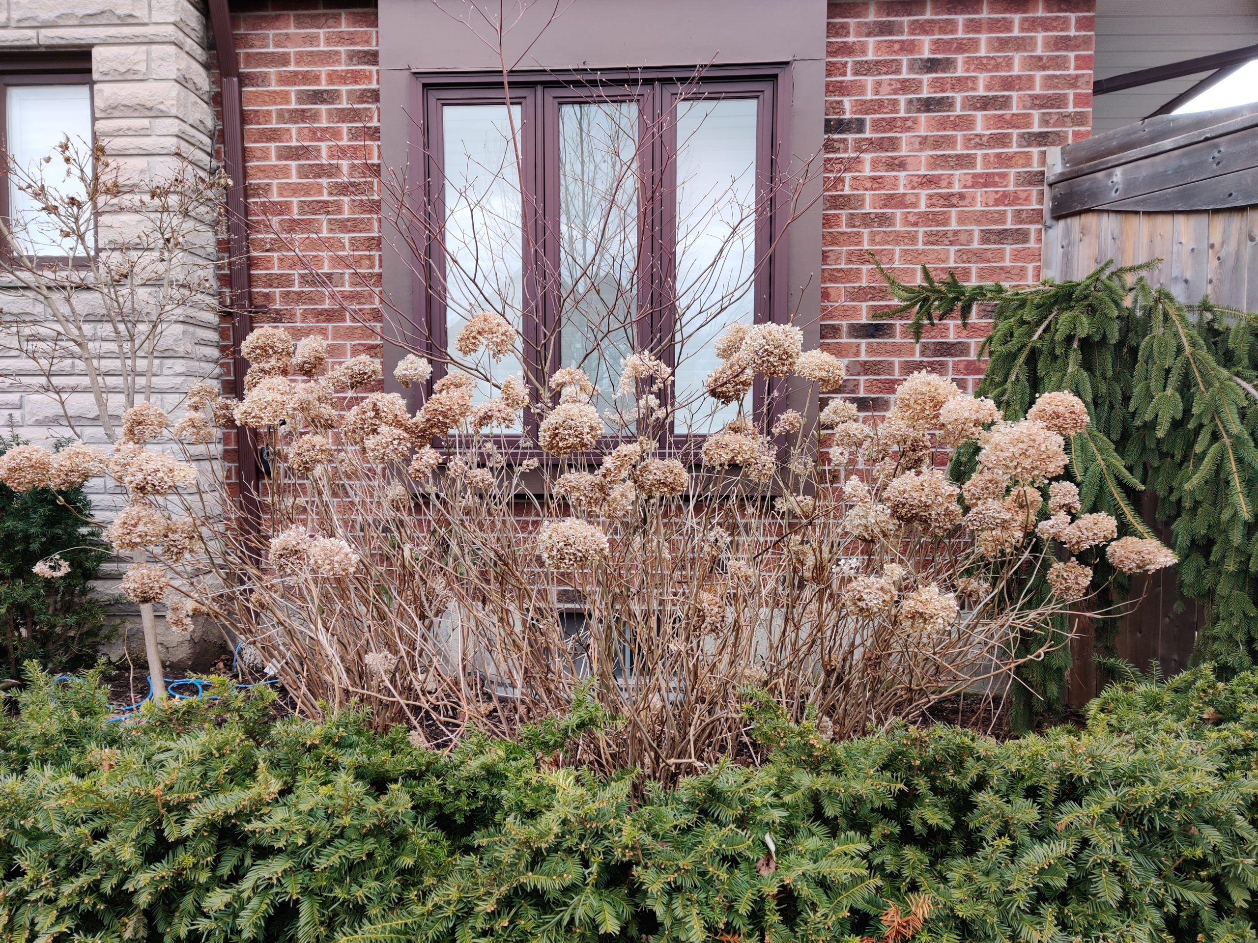 Annabelle Hydrangeas in Winter