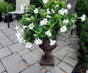Mandevilla Tropical