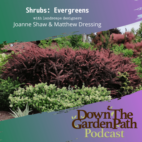 shrubs evergreens