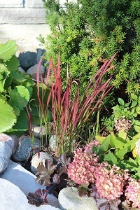 Japanese Blood grass, adds a pop of colour the whole season.