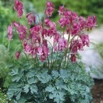 King of Hearts Bleeding Heart - all summer bloomer.