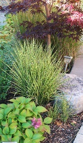 Little Zebra grass, much more compact than its big brother.