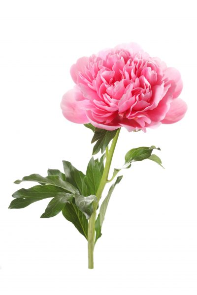 peony flower unusual coral isolated on white background