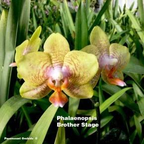 Phalaenopsis Brother Stage