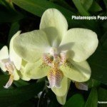 Phalaenopsis Popcorn Ball