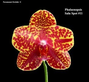 Phalaenopsis Salu Spot