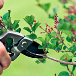 Pruning of a lilac
