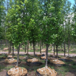 Mature Trees at tree farm