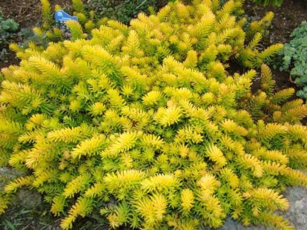 Sedum Angelina - great chartreuse colour in a hot dry area.
