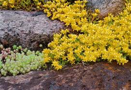 Sedum Floriferum 'Weihenstephaner' Gold - succulent green foliage with yellow flowers.