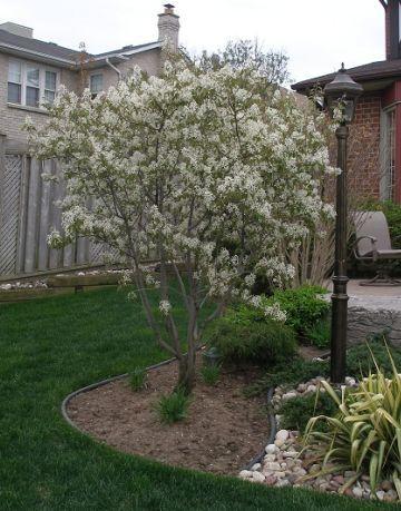 Serviceberry shrub