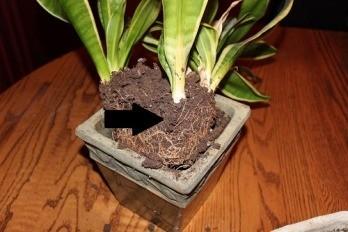 Snake plant dividing