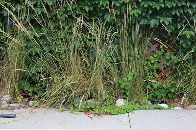 Virginia Creeper Ornamental Grass