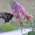 butterflybush4