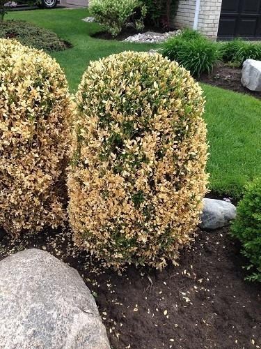 damaged evergreens
