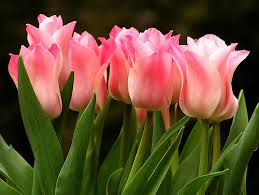 pink tulip grouping