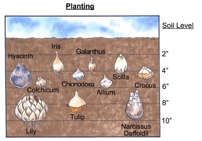 chart that shows which planting depths each bulb needs