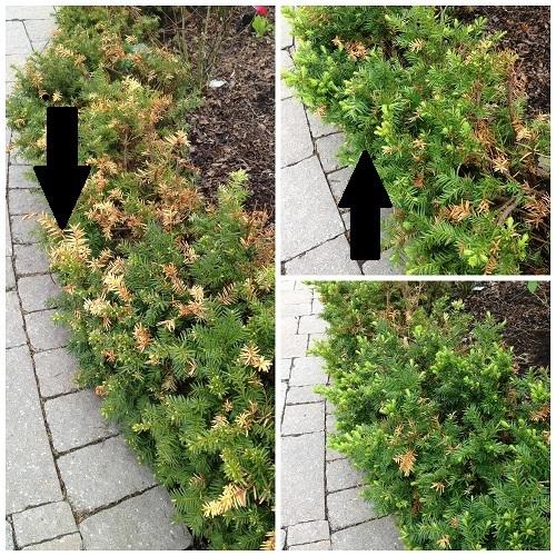 pruning yews