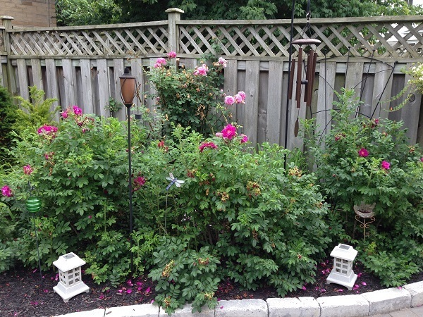 Shrub roses growing well!