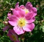 Shrub Rose-single flower