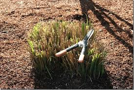 trimming ornamental grasses